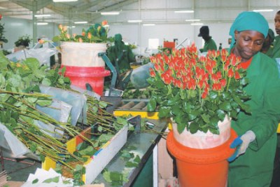 A worker at the Oserian Flower Farm located in Kenya's Rift Valley packs a bouquet of roses at the semi automated home pack in readiness for export to Holland, England and New York (file photo)