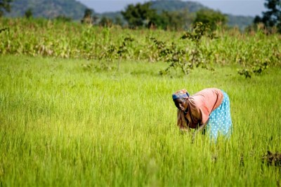 A woman farms rice on her farm in Ungwaku 1, Kajura District, in Kaduna State Nigeria.