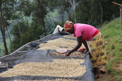 A Rwandan farmer preparing coffee. It is one of the country's main export.