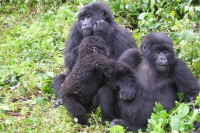 Gorillas at Virunga National Park.
