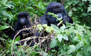 Rwanda: Not Enough Land for All the Gorillas