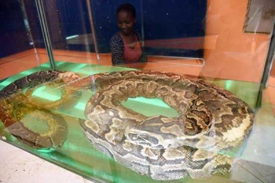The African Rock Python popularly known as Omieri can be seen at the National Museums of Kenya.