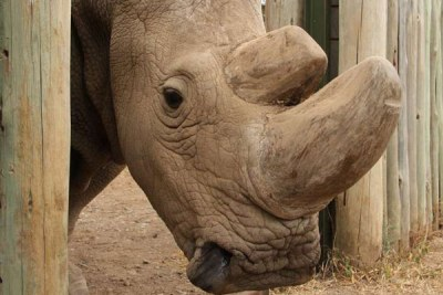 The last male northern white rhino, Sudan, at his enclosure in Ol Pejeta Conservancy, Kenya.