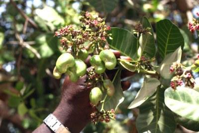 Cashew Nut plantation.