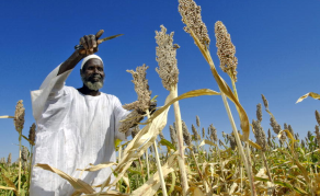 Ethiopia Releases New, Perennial Sorghum Variety