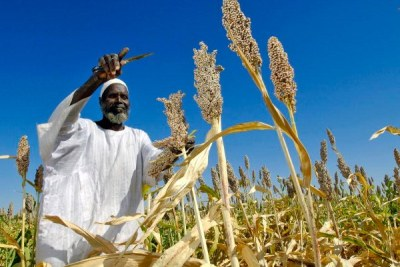 A farmer harvests sorghum.
