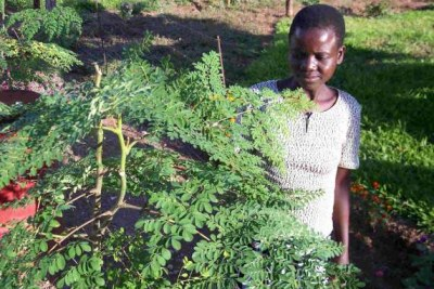Moringa - plant