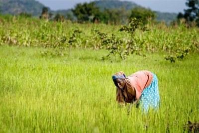 Une femme dans un champ de riz