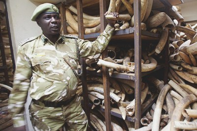 A Kenya Wildlife Services ranger shows elephant tusks intercepted from poachers (file photo).