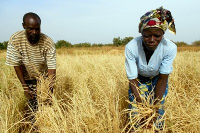 Pauline and Jean-Baptiste Rimpaogoba Novilara are rice farmers in Burkina Faso. Their field is completely dry and they may be forced to sell the few animals that they have in order to buy food for their family.