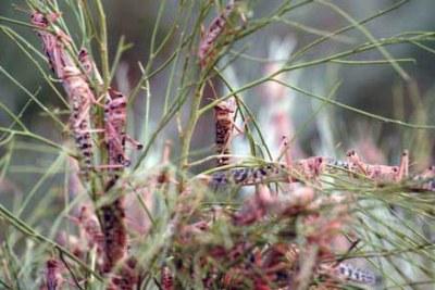 Des criquets pèlerins dévorent la végétation dans les pâturages