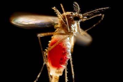 With a newly-obtained fiery red blood meal visible through her now transparent abdomen, the now heavy female Aedes aegypti mosquito takes flight as she leaves her host