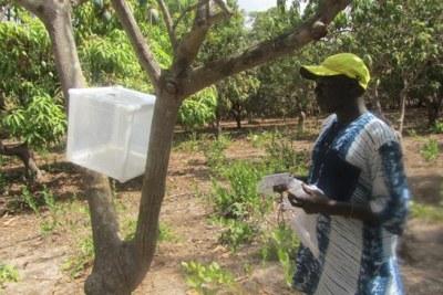 Libération des parasitoïdes dans le village Brin, département de Ziguinchor, en Casamance.