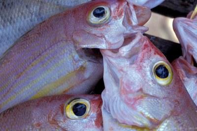 Le poisson représente désormais près de 17% de l'apport en protéines de la population mondiale.
