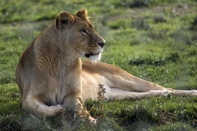 A lioness.