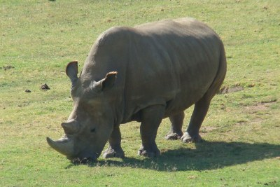 Northern white rhinoceros (file photo).