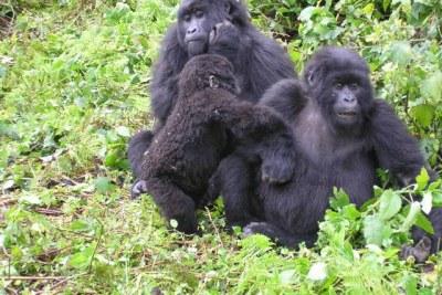 Gorillas at Virunga National Park.