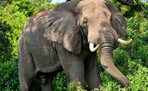 Une pétition pour libérer «Lammie», la dernière éléphante du zoo en RSA