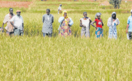 Sénégal - Quand la sécheresse empêche la riziculture en Casamance