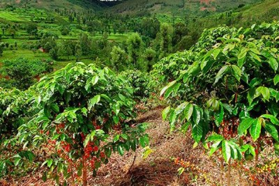 A coffee plantation (file photo).