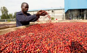 Smelling the Coffee Hard to Miss as Uganda Stockpiles