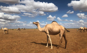 With Refrigerated ATMs, Camel Milk Business Thrives in Kenya