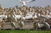 Le Djoudj au Sénégal se maintient avec 82 espèces et...