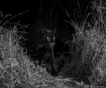 Black Leopard - The Most Elusive Cat in Africa