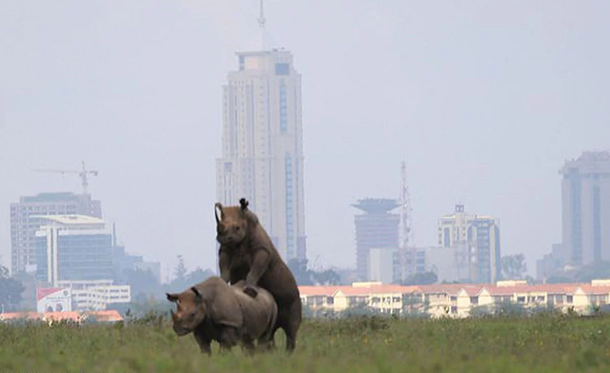 Kenya: Romping Rhinos Cause a Stir As Nairobians Show Love for Nature