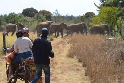 (Photo d'archives) - Un troupeau d'éléphants renvoyés dans la forêt par des habitants du comté de Laikipia dans la vallée du Rift au Kenya après que les animaux ont envahi leurs fermes.