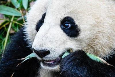 Une réserve située à proximité de la ville de Chengdu, en Chine, célèbre pour la protection et l'élevage d'animaux sauvages menacés, dont les pandas géants.