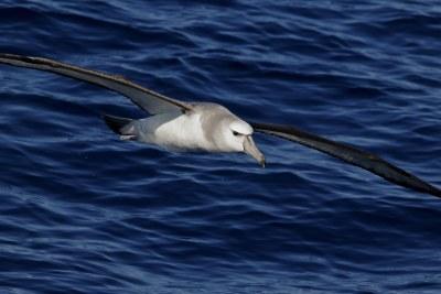 A shy albatross.